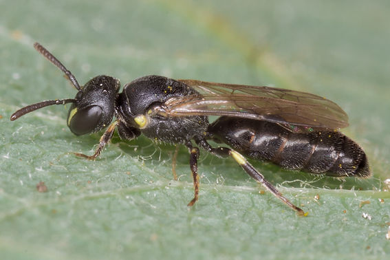 Cresson's / Mesilla Masked Bee Hylaeus mesillae cressoni - (c) Copyright 2017 Sharp-Eatman Photo