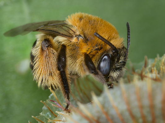 Long-horned Bee - Melissodes trinodis - (c) Copyright Sharp - Eatman Photo