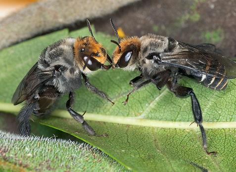 Melitoma marginella male and female bee - (c) Copyright 2019 Pala Sharp