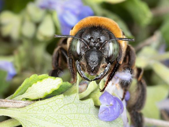 Mesoxaea texana bee (female); Copyright 2021 Paula Sharp