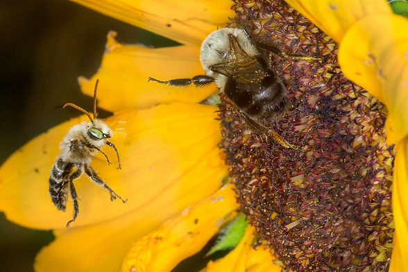 Bumble bee pushing long-horned bee from sunflower