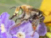 California Digger Bee - Anthophora californica - (c) Copyright 2018 Paula Sharp