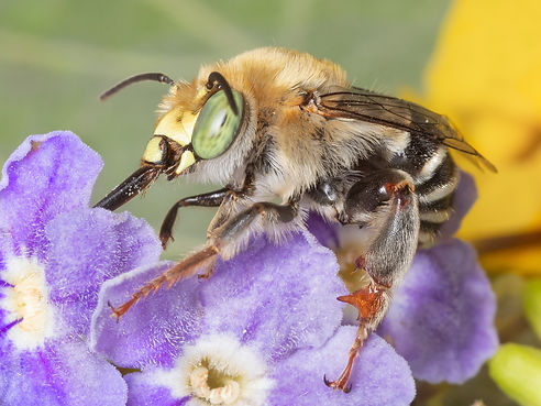 Digger bee, Anthophora, Anthophora californica