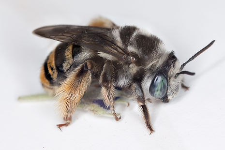 Florilegus condignus long-horned bee (c) Copyright 2019 Paula Sharp