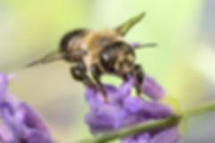 Leafcutter Bee - Megachile (c) Copyright 2016 Sharp-Eatman Photo