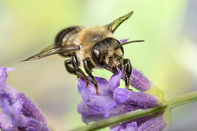 Leafcutter Bee - Megachile (c) Copyright 2016 Sharp-Eatman Photo