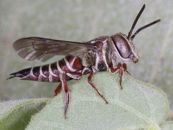Coelioxys azteca cuckoo leafcutter bee - Coelioxys aztecus; (c) Copyright 2018 Paula Sharp