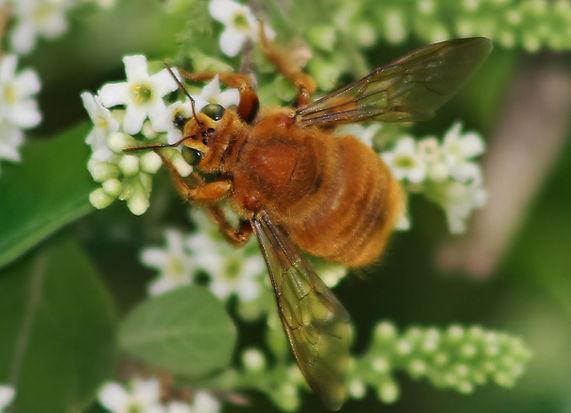 Xylocopa mexicanorum; Mexican carpenter bee male; Copyright 2018 Tripp Davenport