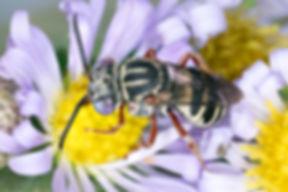 Violet-eyed Epeolus pusillus cuckoo bee - (c) Copyright 2018 Paula Sharp