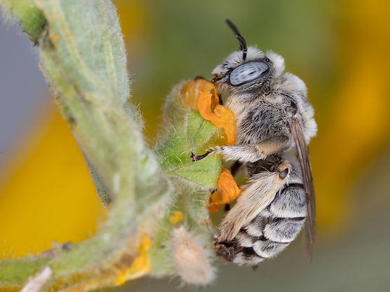 Diadasia diminuta chimney bee - (c) Copyright 2019 Paula Sharp