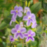 Pigeonberry (Duranta erecta)