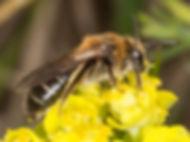 Long-lipped Mining Bee - Andrena barbilabris - (c) 2016 Paula Sharp & Ross Eatman