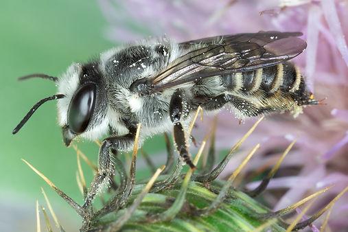 Megachile parallela leafcutter female - (c) Copyright 2019 Paula Sharp