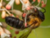 Giant Resin Bee - Megachile sculpturalis - (c) 2015 Sharp-Eatman Photo