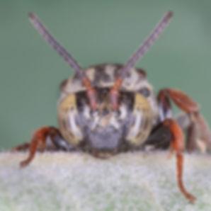 WJPEG-Triepeolus-M-face-clypeus-NBC-#263
