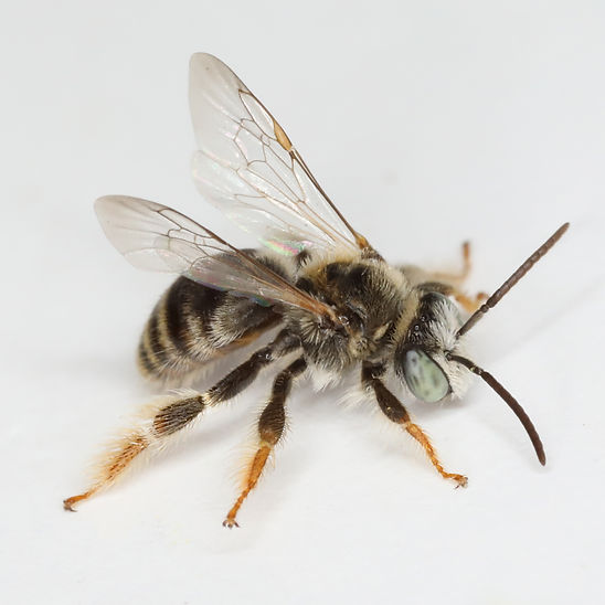 Exomalopsis similis bee - (c) Copyright 2019 Paula Sharp