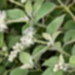 Woolly croton Croton capitatus)