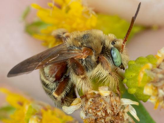 Exomalopsis mellipes bee (male), Copyright 2019 Paula Sharp