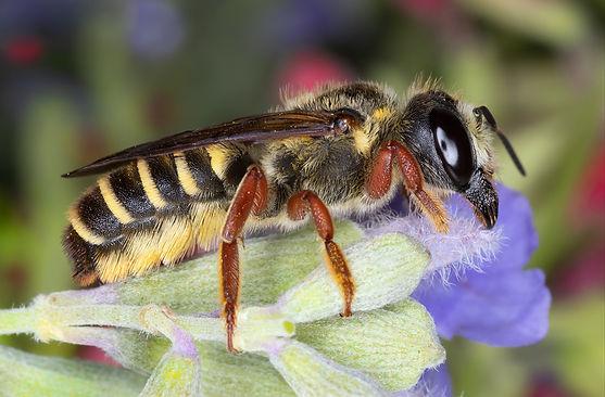Megachile inimica hostile leafcutter - (c) Copyright 2019 Paula Sharp