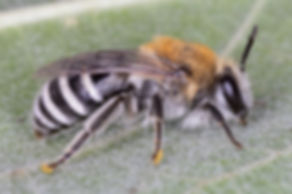 Colletes bee, Colletes birkmanni, cellophane bee, plasterer bee, polyester bee