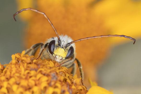 Tetraloniella wilmattae, Eucera wilmattae, Tetraloniella long-horned bee, Texas native bee
