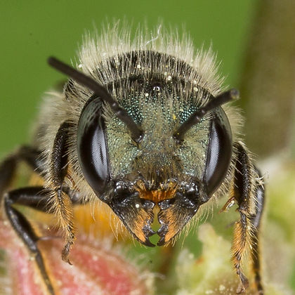 Osmia georgica Mason Bee - (c) 20016 - Copyright 2015 Sharp-Eatman Photo
