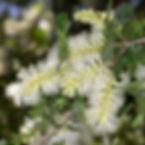 WJPEG-Flora-Texas-ebony-NBC-#272-Ebenops
