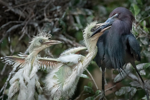 A little blue heron shuts its nictitating membrae when feeding chicks.