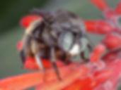 WJPEG-Xylocopa-tabaniformis-parkinsoniae