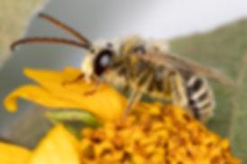Tetraloniella wilmattae long-horned bee - (c) Copyright 2018 Paula Sharp