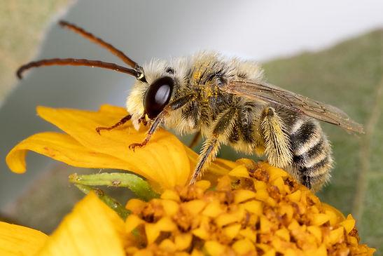 Tetraloniella wilmattae long-horned bee - (c) Copyright 2019 Paula Sharp