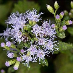 Crucita (Chromolaena odorata)