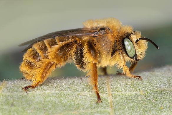 A male Diadasia enavata chimney bee - (c) Copyright 2019 Paula Sharp