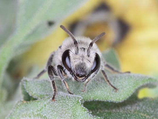 Colletes texanus cellophane bee - (c) Copyright 2020 Paula Sharp