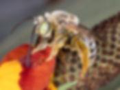 WJPEG-Mystery-Bee-facing-left-HOSS-PIC-M