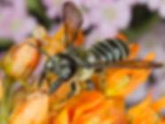 Pugnacious Leafcutter Bee - Megachile pugnata (c) 2016 Sharp-Eatman photo