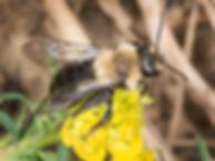 Carlin's Andrena female - Andrena Carlini - (c) 2016 Paula Sharp & Ross Eatman