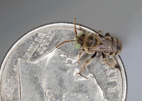 Anthophorula Bee - (c) Copyright 2019 Paula Sharp