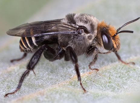Melitoma marginella bee - (c) Copyright 2018 Paula Sharp
