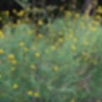 Skeleton-leaf goldeneye (Viguiera stenoloba)