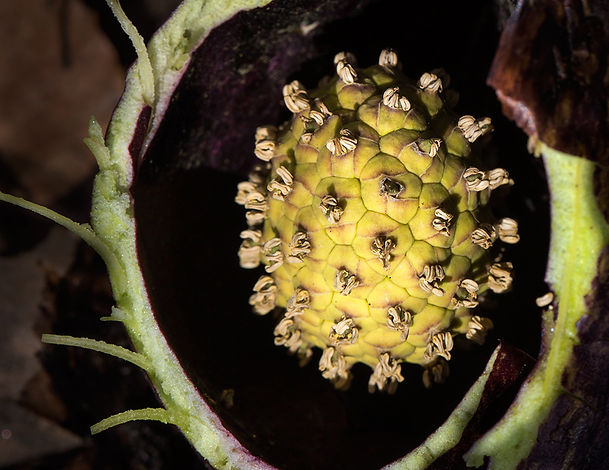 Skunk Cabbage Spadix - (c) 2015 Sharp - Eatman Photography