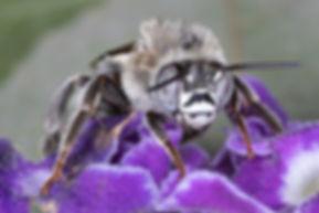 A male Anthophora capistrata digger bee- (c) Copyrght 2019 Paula Sharp