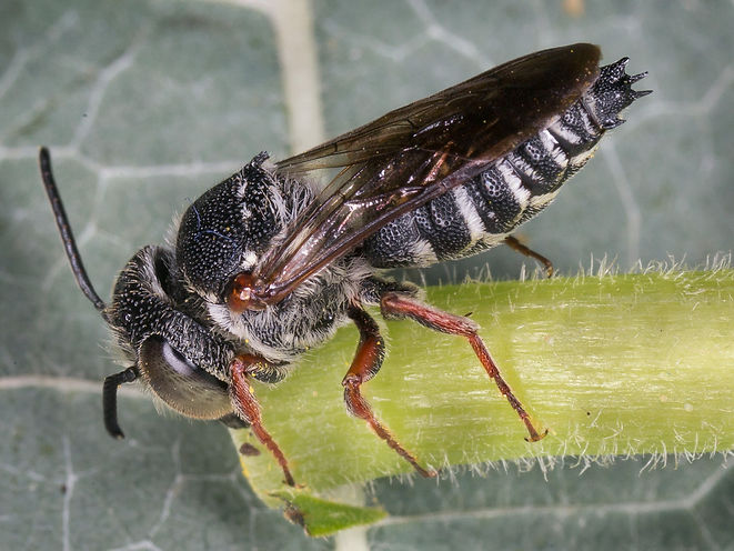 A male eight-toothed leafcutter- Coelioxys octodentatus - (c) 2016 Sharp-Eatman Photo