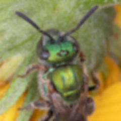 A female Augochlora aurifera sweat bee; (c) Copyright 2018 Paula Sharp