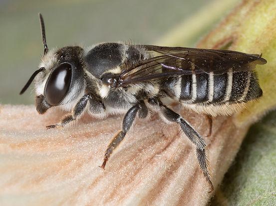 Zapatlana Leafcutter Bee - Megachile zapatlana