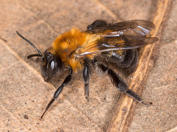 Milwaukee Mining Bee - Andrena milwaukeensis - (c) 2016 Paula Sharp & Ross Eatman