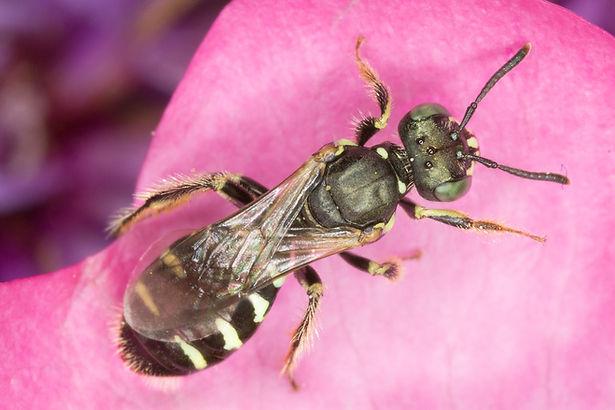 Perdita octomaculata - Eight-spotted Mining Bee - (c) Copyright 2017 Paula Sharp
