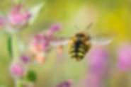 Carder Bee - Anthidium obligatum - in flight - (c) Copyright 2015 Sharp-Eatman Photo
