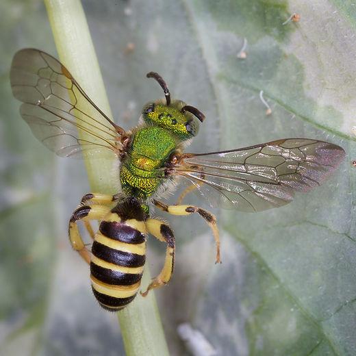 Silky Agapostemon Bee - Agapostemon sericeus - Copyright 2016 Sharp-Eatman Photo