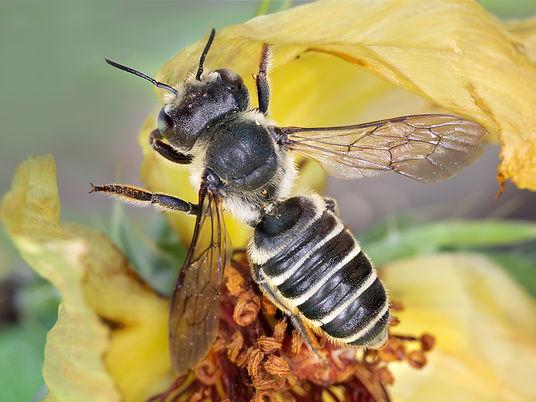 Megachile montivaga leafcutter bee - (c) Copyright 2019 Paula Sharp